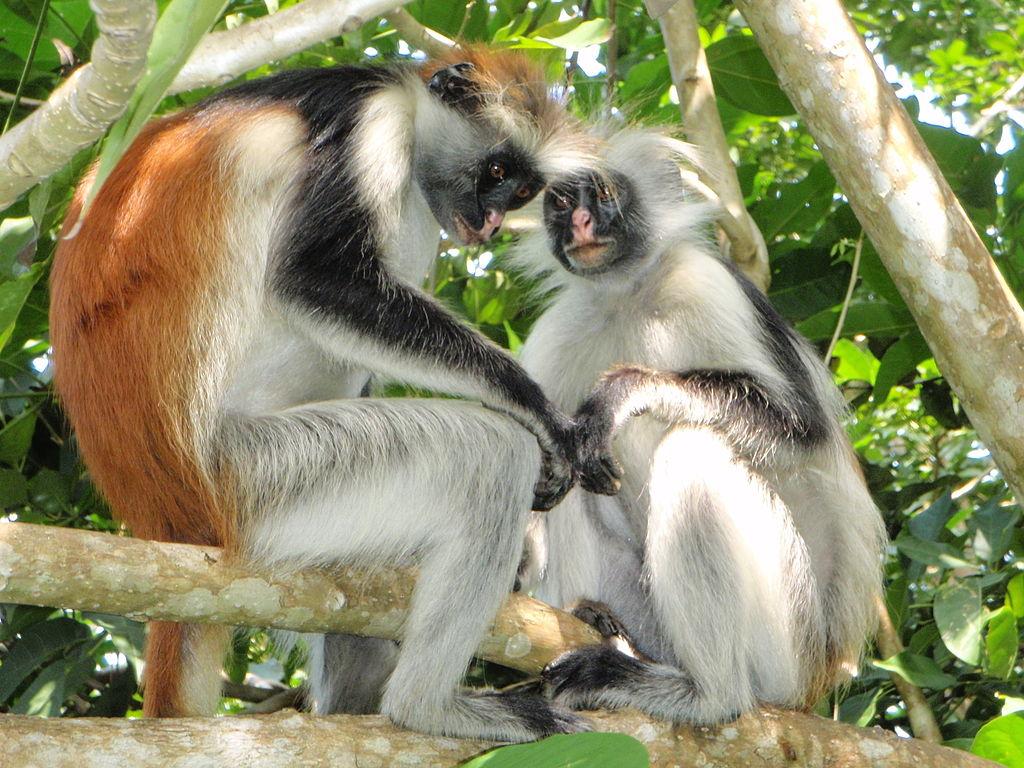 Visiter Jozani Chwaka Bay, un parc exceptionnel de l'archipel Zanzibar
